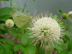 Cephalanthus occidentalis var. occidentalis