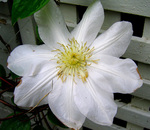 Clematis 'Candida'