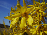 Forsythia × intermedia 'Lynwood' (tentative)