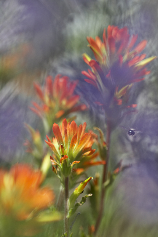 Castilleja applegatei var. pinetorum