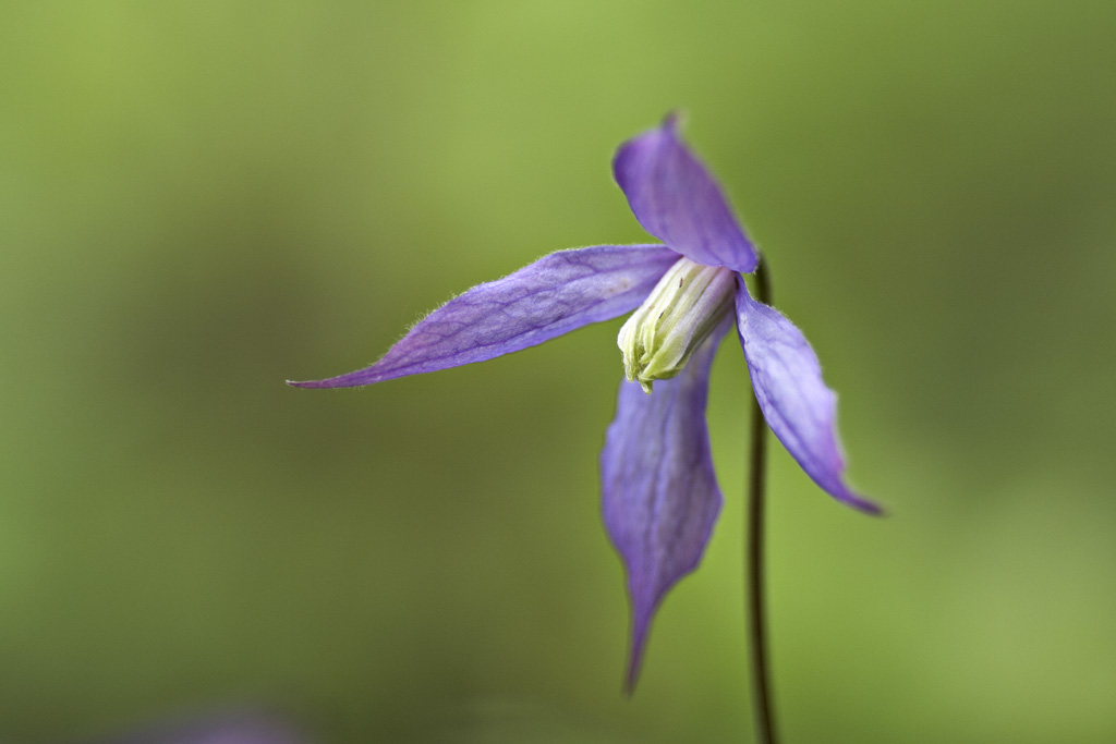 Clematis occidentalis var. grosseserrata