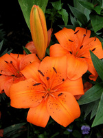 Lilium 'Orange Pixie'