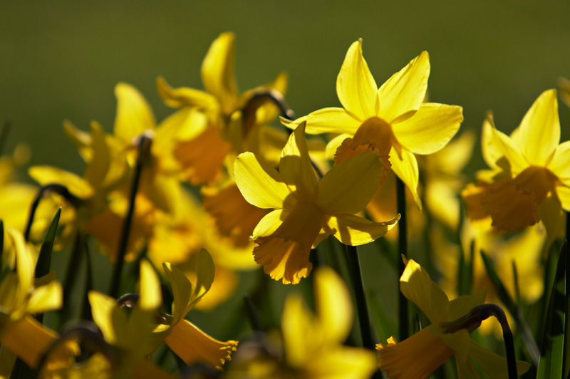 Narcissus minor var. conspicuus