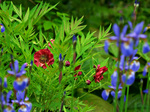 Paeonia delavayi and Iris sibirica 'Tropic Night'