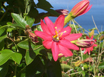 Passiflora 'Coral Sea' (tentative)