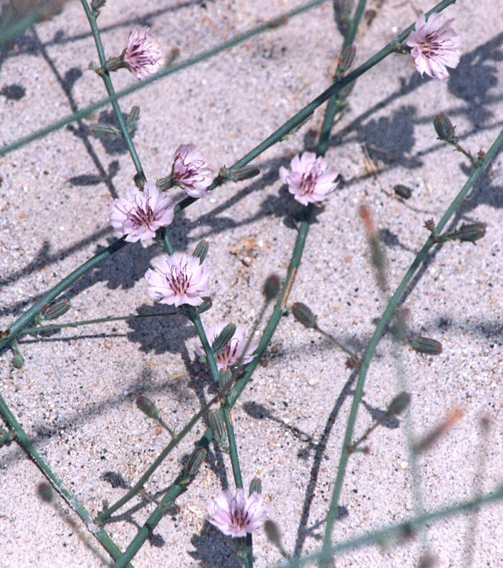 Stephanomeria diegensis
